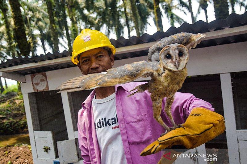 Burung Hantu Penjaga Kebun Kelapa Sawit