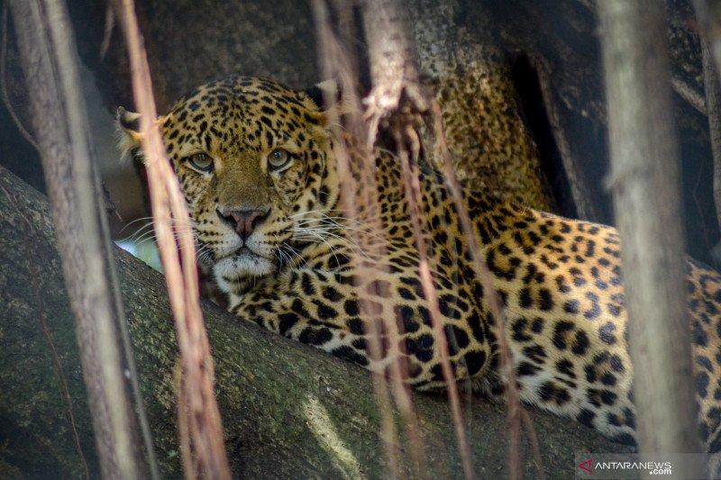 Anggaran kebun Binatang Bandung menipis,  potong rusa untuk pakan macan tutul
