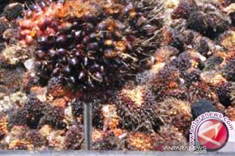 Harga sawit Riau hari ini naik
