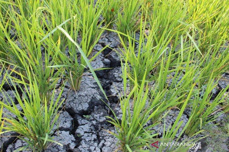 Para petani terpaksa gunakan air tangki untuk mengairi sawah
