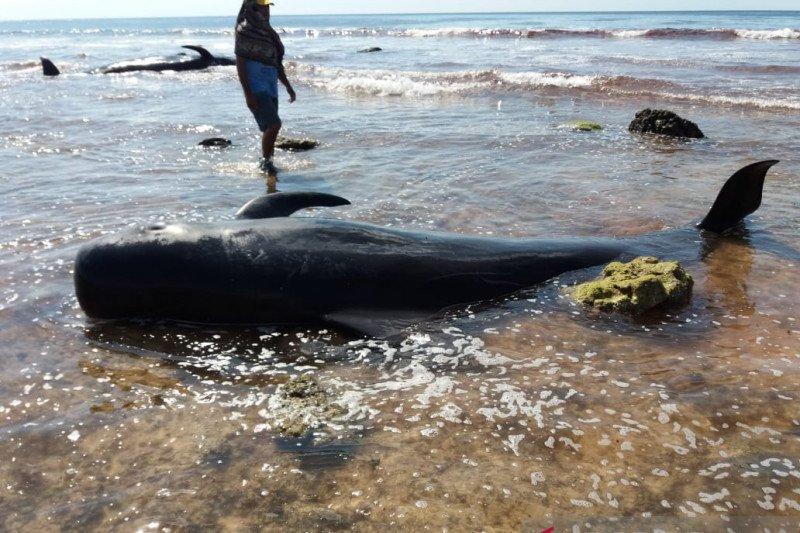 Nelayan NTT kubur enam ekor bangkai paus yang terdampar