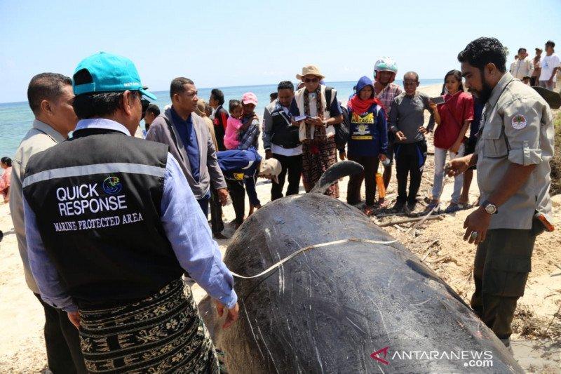 Ada kesalahan memindahkan paus pilot sehingga mati