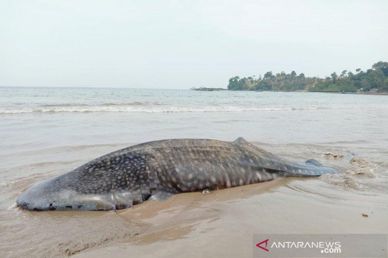 Limbah domestik ke laut jadi penyebab paus terdampar
