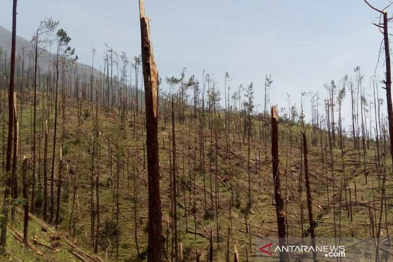 Ribuan pohon pinus Gunung Merbabu tumbang  tekena terpaan angin kencang
