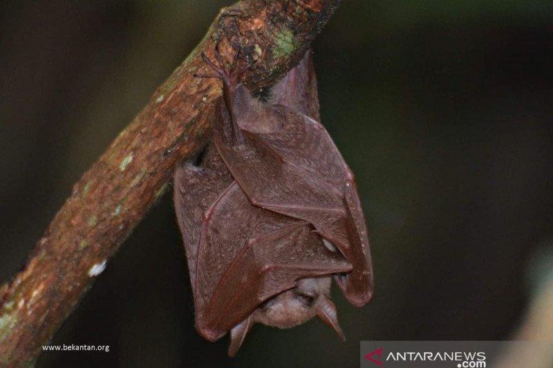 Kelelawar lidah panjang ditemukan di Pulau Curiak