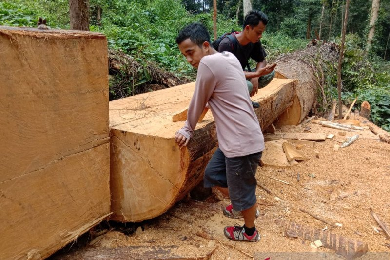 Polhut temukan kayu olahan bernilai ratusan juta rupiah di Hutan Lindung Gunung Talamau
