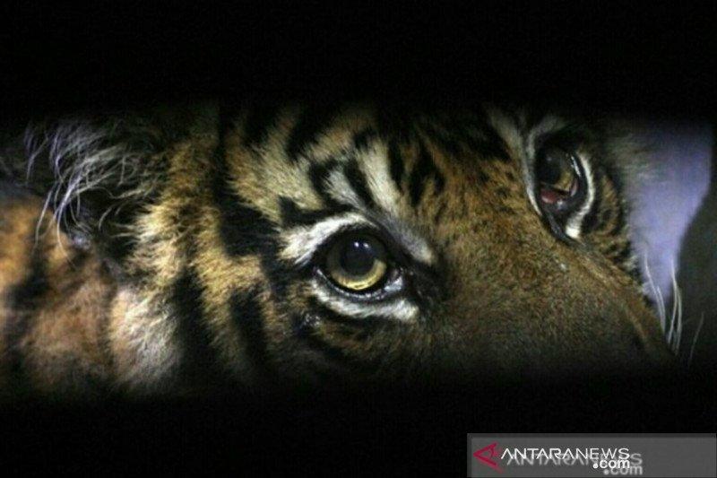 Lagi-lagi, Harimau mangsa seekor anak sapi di Sungai Jariang Agam