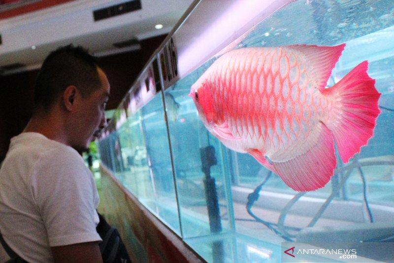 Ikan hias pakai  microchip agar mudah pantau perdagangannya