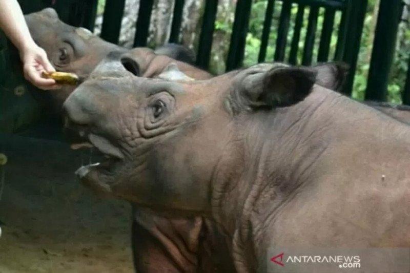 40 ekor badak sumatera ada di Way Kambas