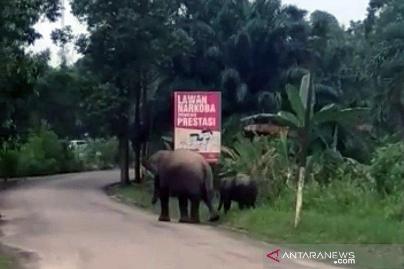 Dua gajah sumatera di Riau berkeliaran