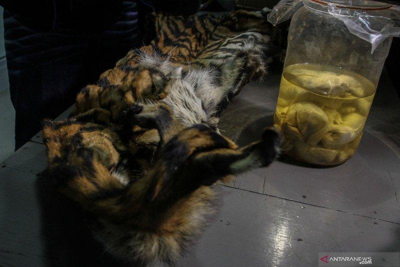 Gakkum LHK dan Polri tangkap pelaku perburuan harimau sumatera di Riau