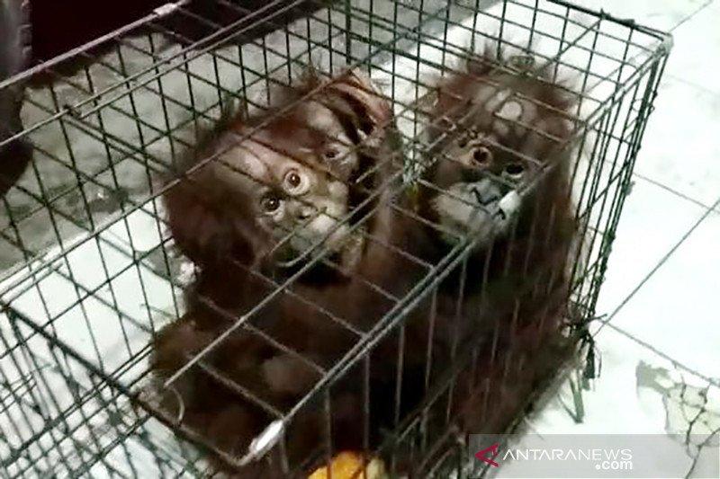 Induk bayi orangutan telantar diduga sudah dibunuh