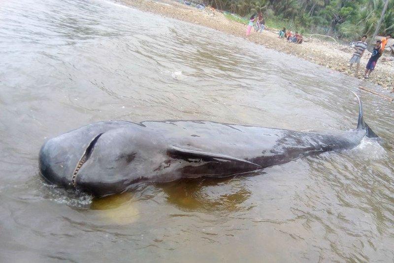 Seekor paus pilot terdampar di Pantai