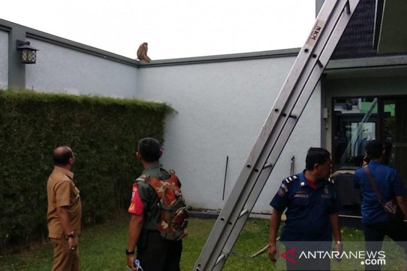 Monyet liar di Medan serang manusia dan  rusak rumah warga