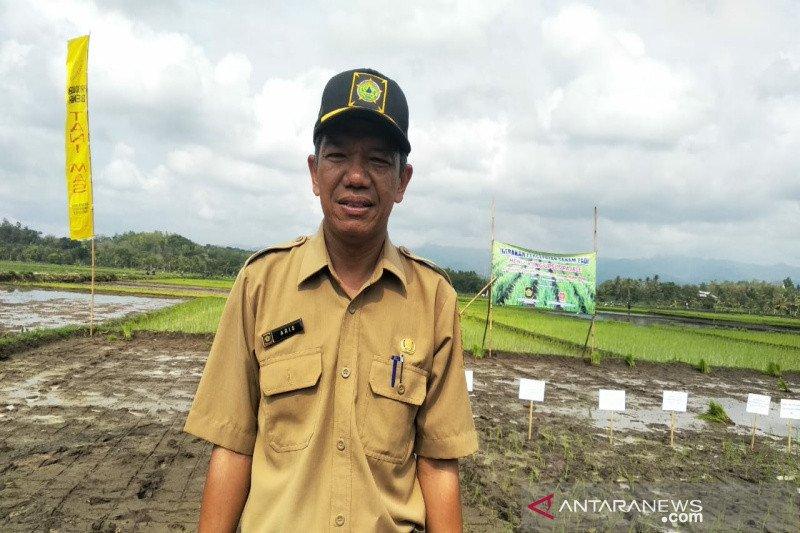 Kulon Progo akan kembangkan padi varietas Inpari IR Nutri Zinc