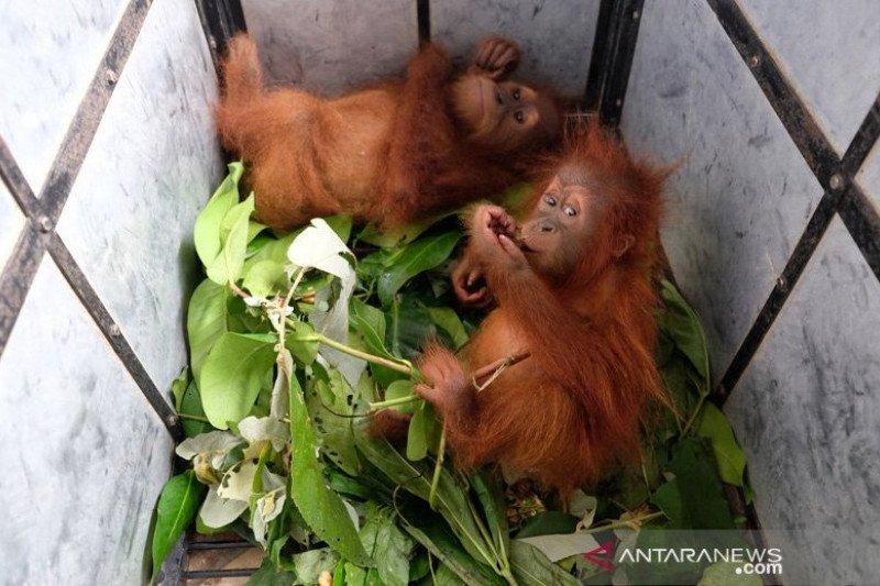 Dua bayi orangutan berhasil disita dari pemburu