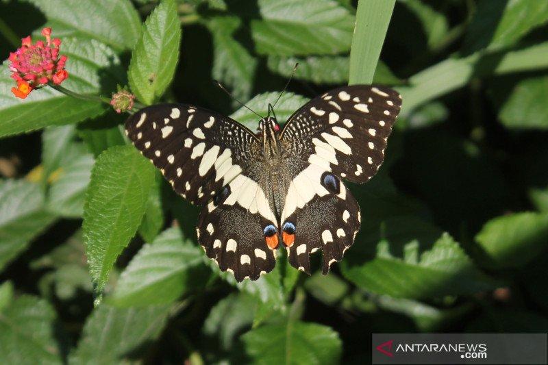 15 jenis kupu-kupu ditemukan saat observasi di UPT  Agrotechnopark Unej
