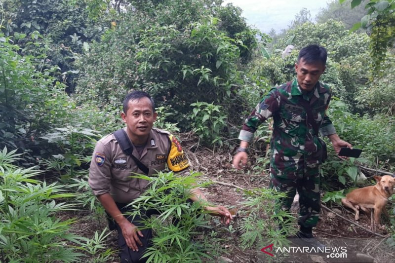 Puluhan pohon ganja ditemukan tumbuh di Gunung Guntur Garut