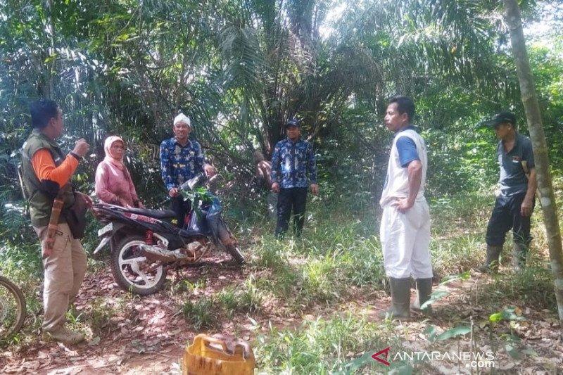 Orangutan semakin sering masuk ke kebun masyarakat Kotim