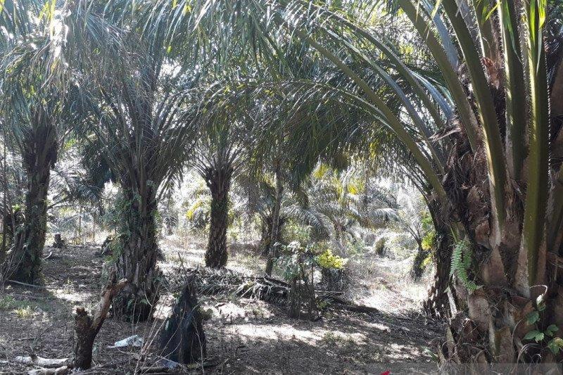 Mayoritas kelompok tani Mukomuko cairkan dana peremajaan tanaman untuk tumbangkan pohon sawit