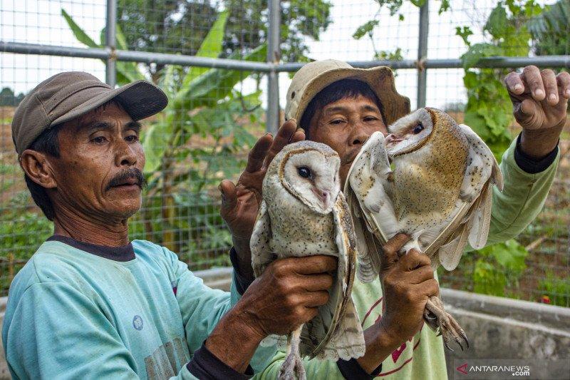 Burung Hantu Pembasmi Hama Tikus Antara News