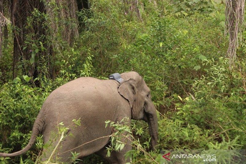 Gajah sumatera liar di Riau dipasang kalung GPS, ini tujuannya