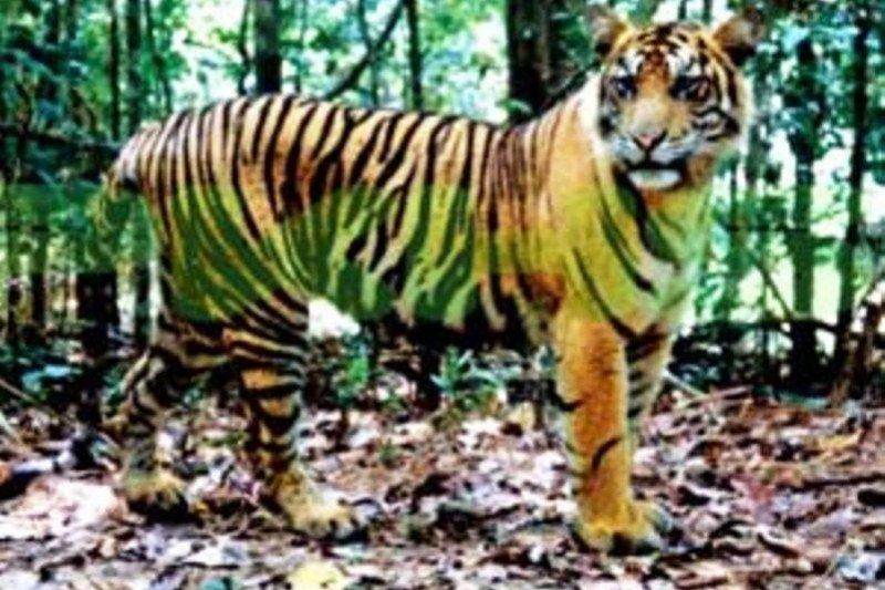 Pekerja proyek tol Pekanbaru-Dumai dikagetkan harimau yang melintas