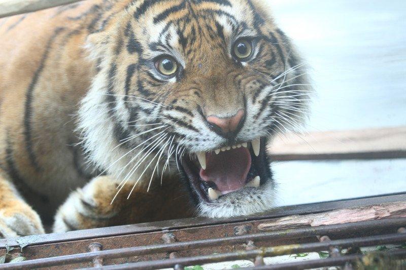 Informasi harimau serang sapi di Kampar ternya Hoaks, begini penjelasan BBKSDA Riau