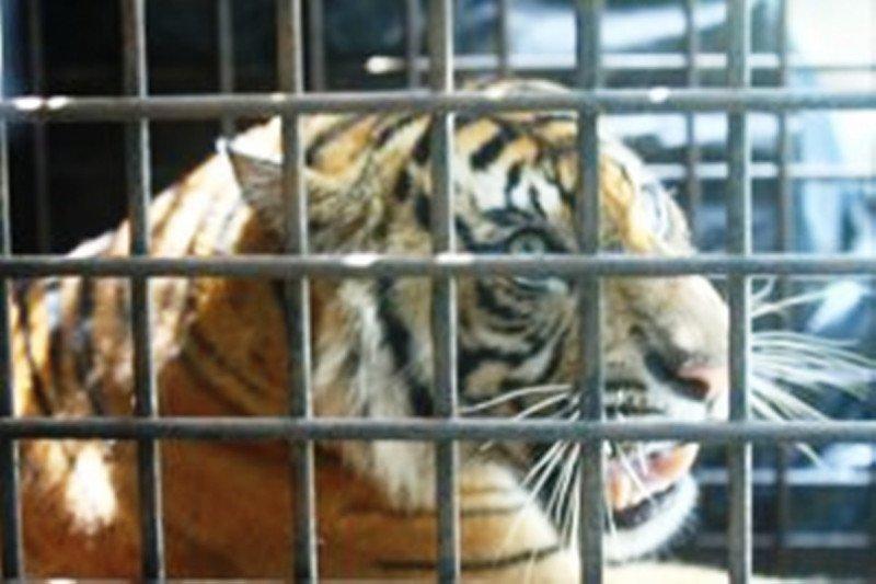 Aktivis lingkungan dukung Polda Riau usut perdagangan harimau