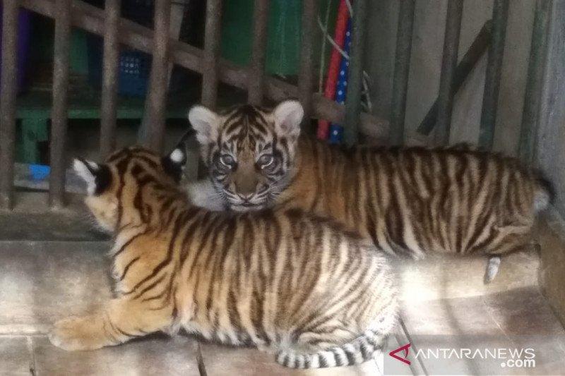 A pair of Sumatran tiger children born in healthy conditions in TMSBK Bukittinggi