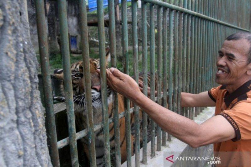 Kelahiran  anak Harimau Sumatera