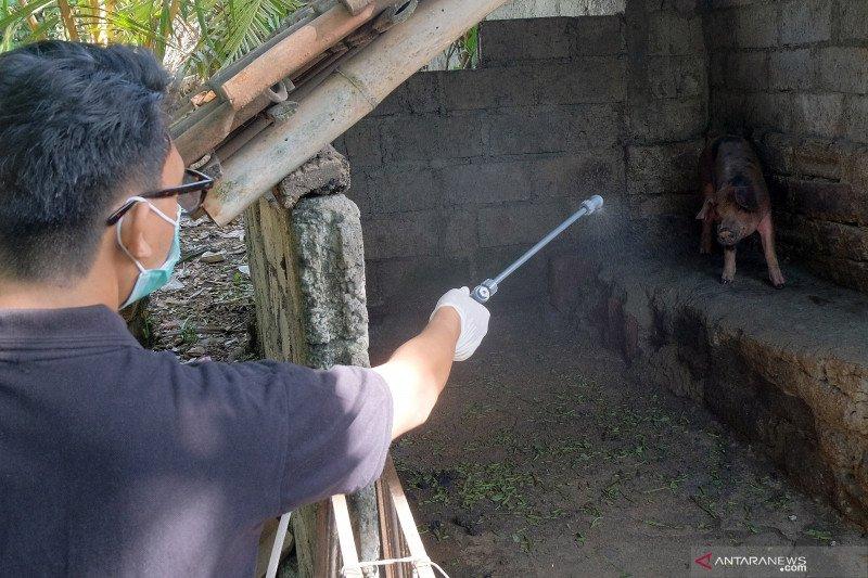 Pulau Timor positif terserang virus ASF