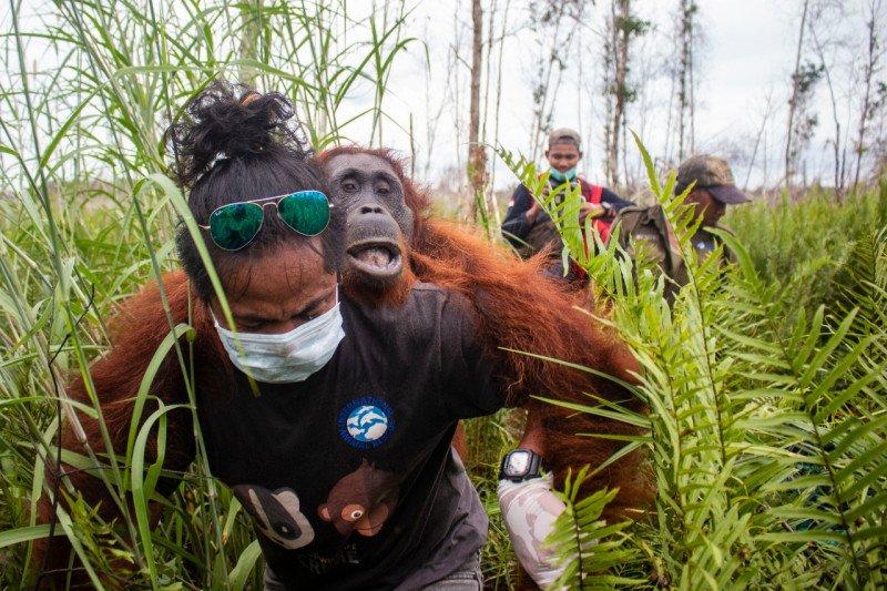 BKSDA - IAR rescue two orangutans in Ketapang