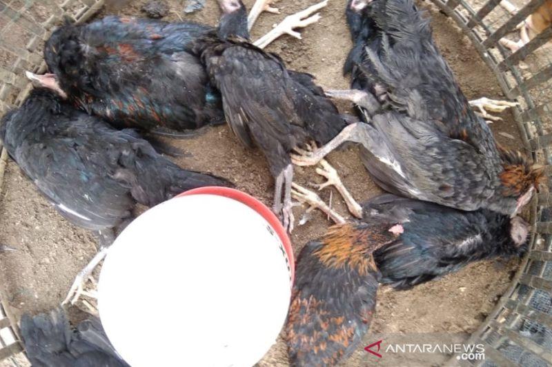 Denmark musnahkan 25.000 ekor ayam setelah temuan flu burung
