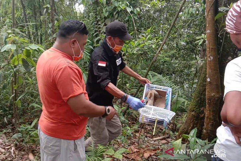 Aktivis penyelamatan satwa  lepasliarkan Kukang Jawa