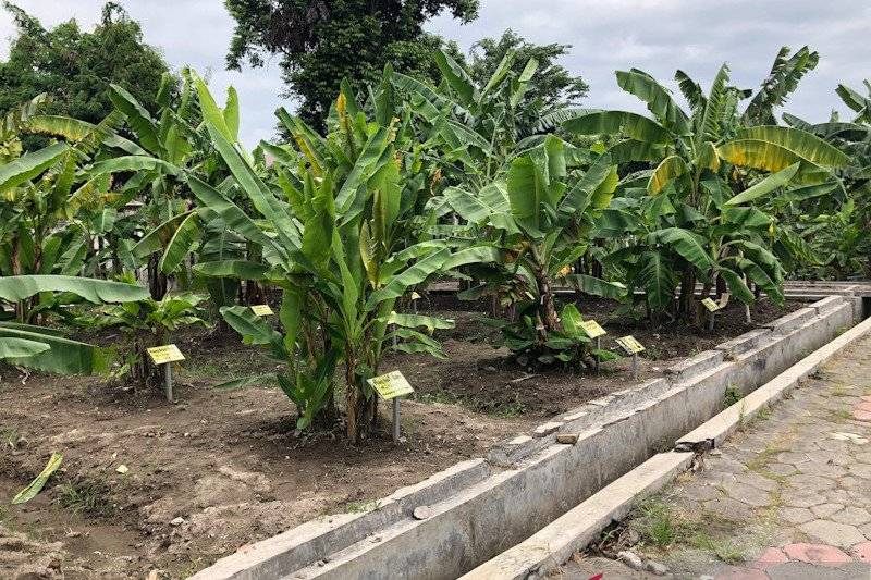 Kebun plasma nutfah pisang Yogyakarta ditata dari sisi selatan