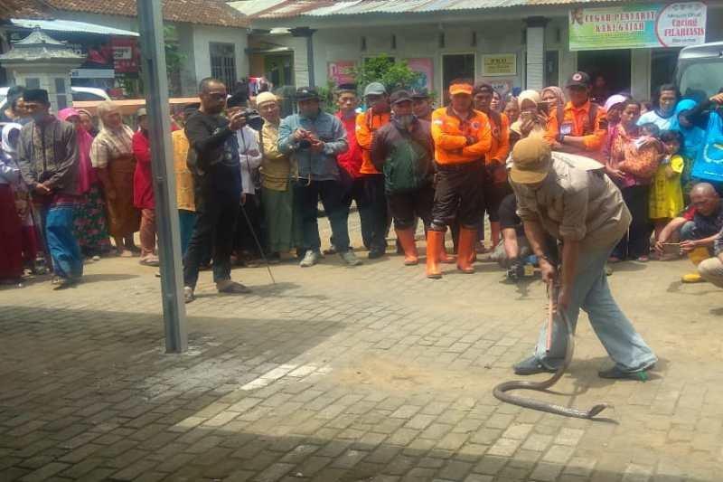Ratusan warga Wonosobo berburu ular kobra yang berkeliaran di permukiman
