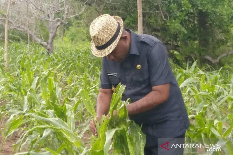 Petani jagung NTT rugi Rp120 miliar akibat hama ulat grayak
