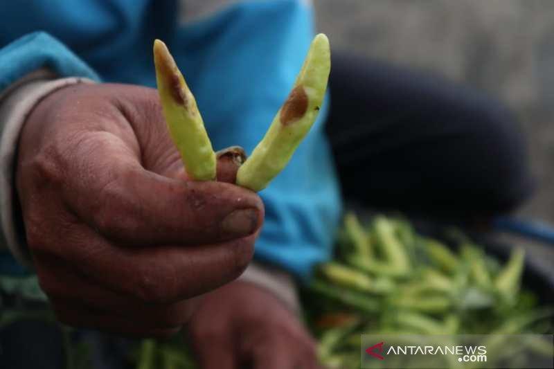 Musim hujan, tanaman cabai di Temanggung diserang patek