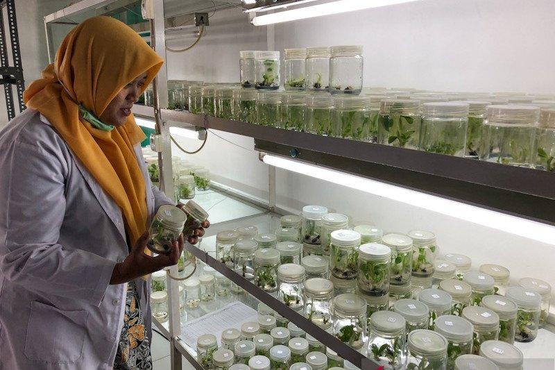 Kebun Plasma Nutfah Pisang Yogyakarta kewalahan memenuhi kebutuhan bibit