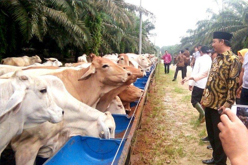 Pengembangan ternak sapi di kawasan Lunci-Jelai Sukamara