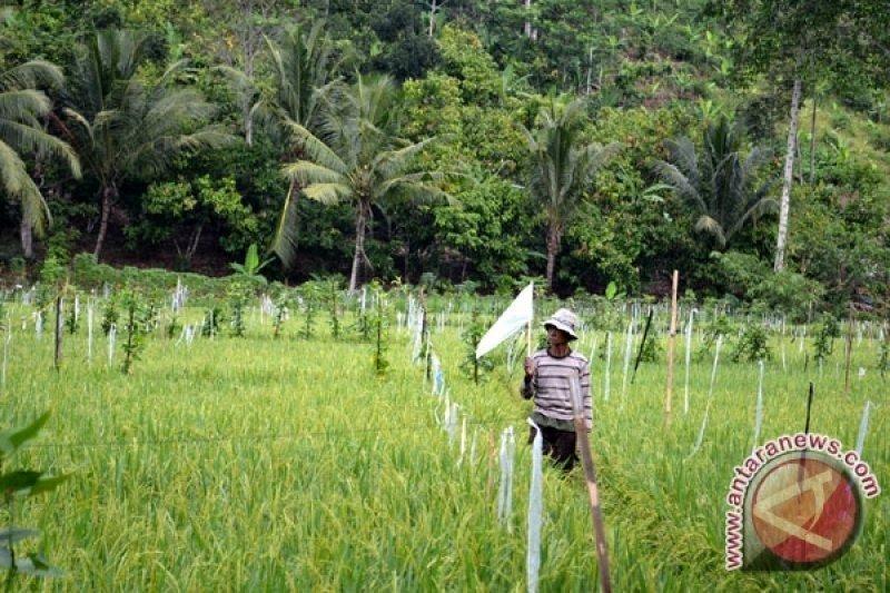 Petani padi di Lubuk Raja Sumsel waspada  serangan tikus