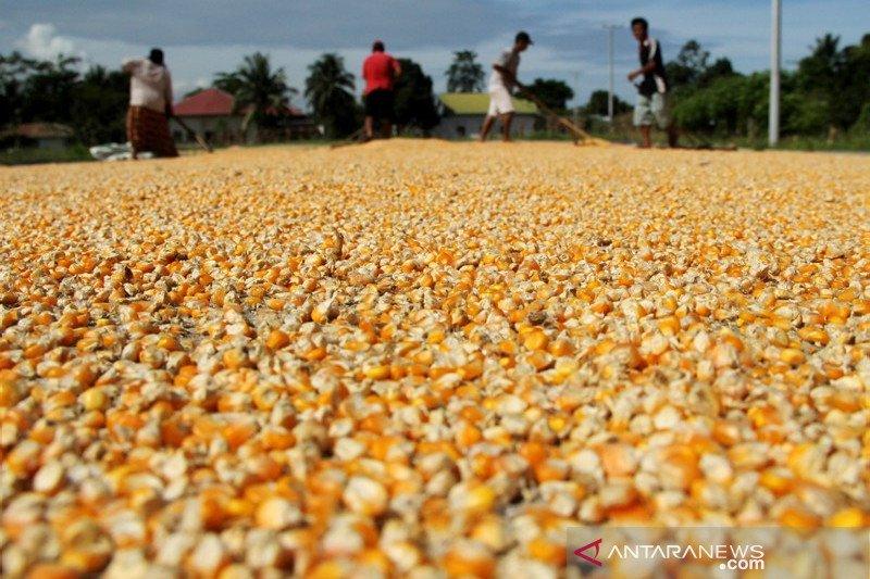 Target produksi jagung nasional 2020
