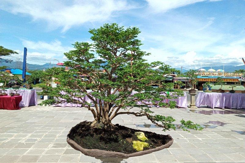 Bonsai Rp100 juta dipamerkan di pameran jemur bonsai 2020