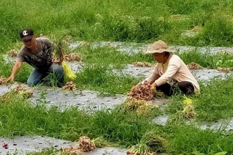 Minahasa Tenggara gaet milenial kembangkan pertanian