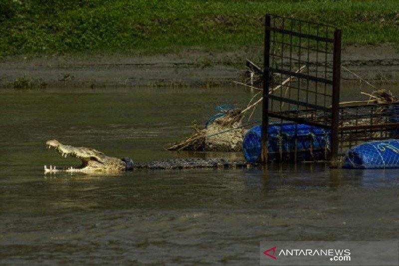Buaya ban Sungai Palu kian agresif