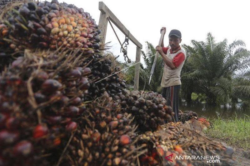 Harga sawit di Sumsel Rp1.824 per kg