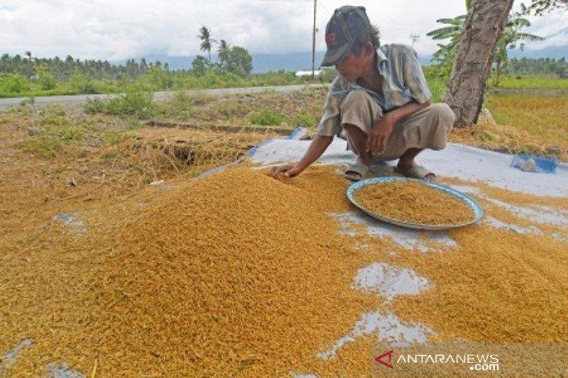 Panen padi belum maksimal pascagempa di Sigi