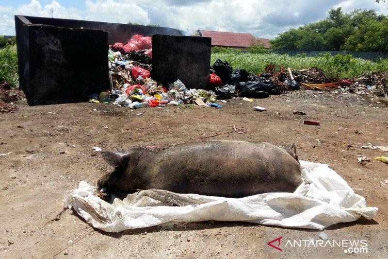 Terserang virus ASF, 4.888 ekor babi di Pulau Timor mati