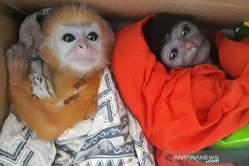 Empat Owa dan tiga Lutung diselamatkan dari perdagangan satwa liar di Riau